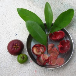 Garcinia Fruit Weight Loss