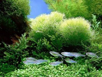 Spirulina-Plant